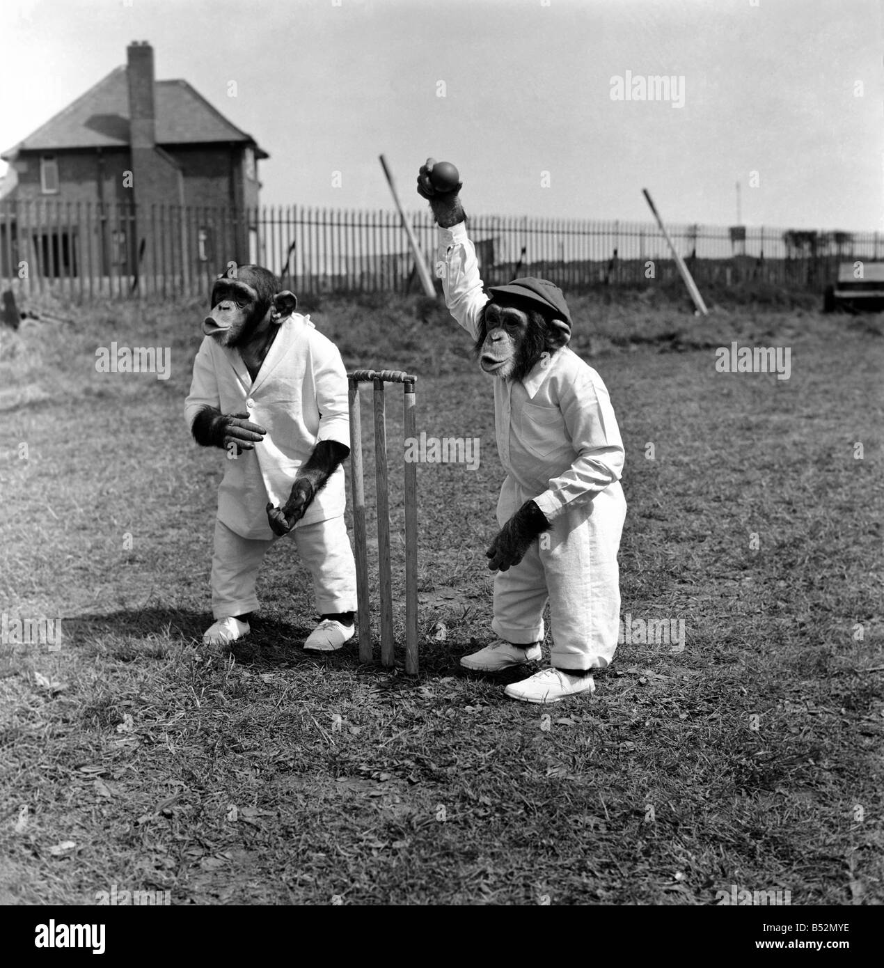 Animals Humour Monkeys playing Cricket. May 1953 D2836 - Stock Image