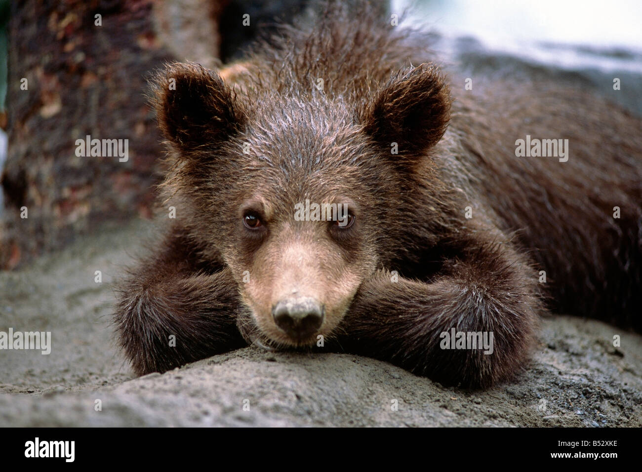 Grizzly bear cub laying on ground Alaska Wildlife Conservation Center SC Alaska Summer Captive - Stock Image