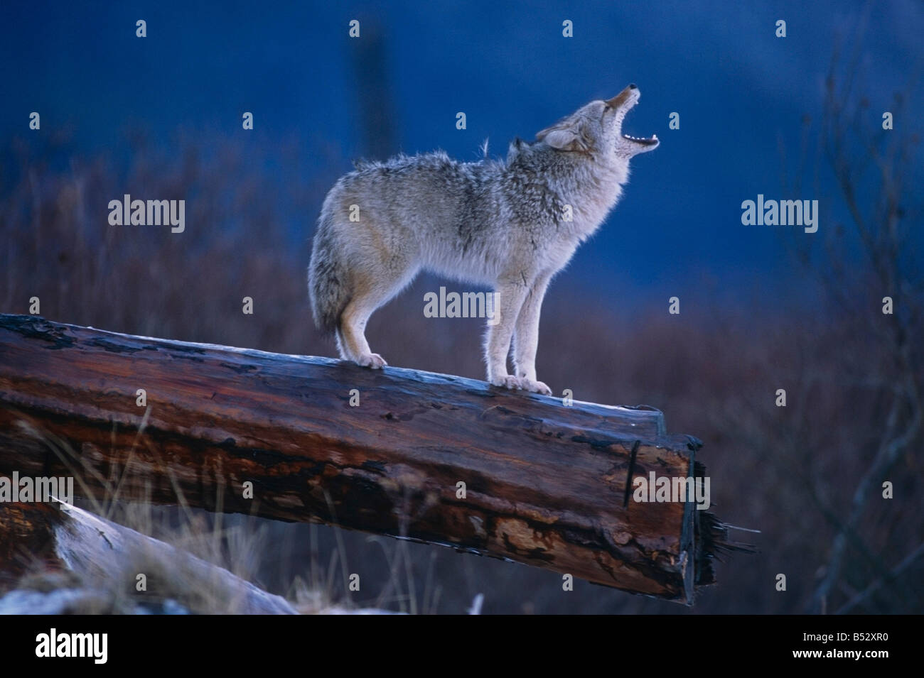 Coyote Standing on Log Alaska Wildlife Conservation Center Winter SC Alaska - Stock Image