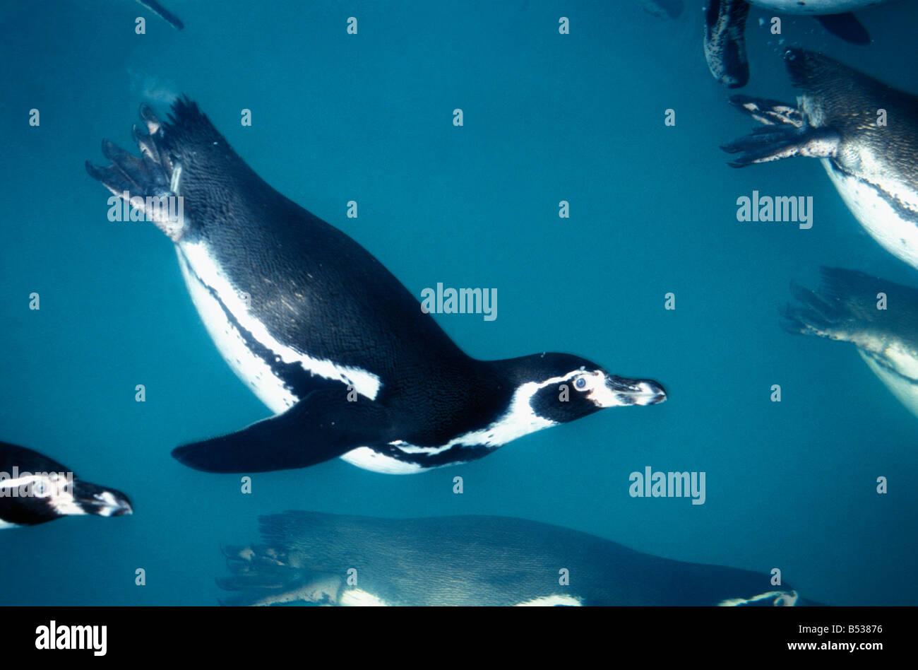 manchot du cap Jackass Penguin Spheniscus demersus underwater woodfall wild bird penguin jackass penguin flightless Stock Photo