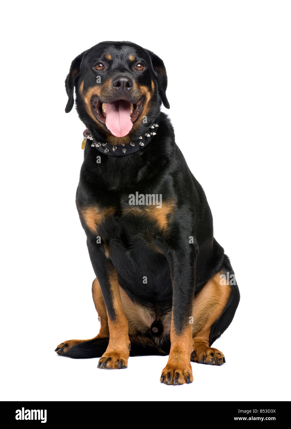 rottweiler 5 years in front of a white background - Stock Image