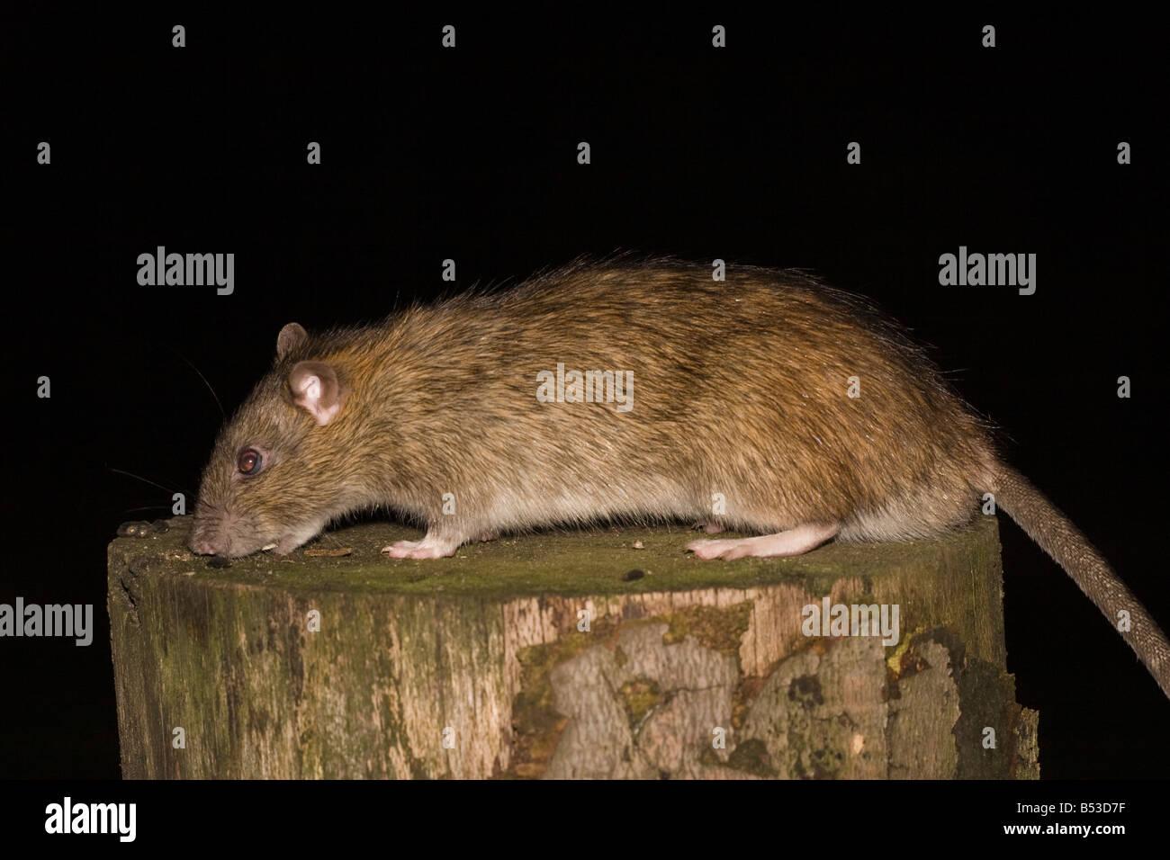 Rattus norvegicus Brown Rat Wanderratte mammal - Stock Image
