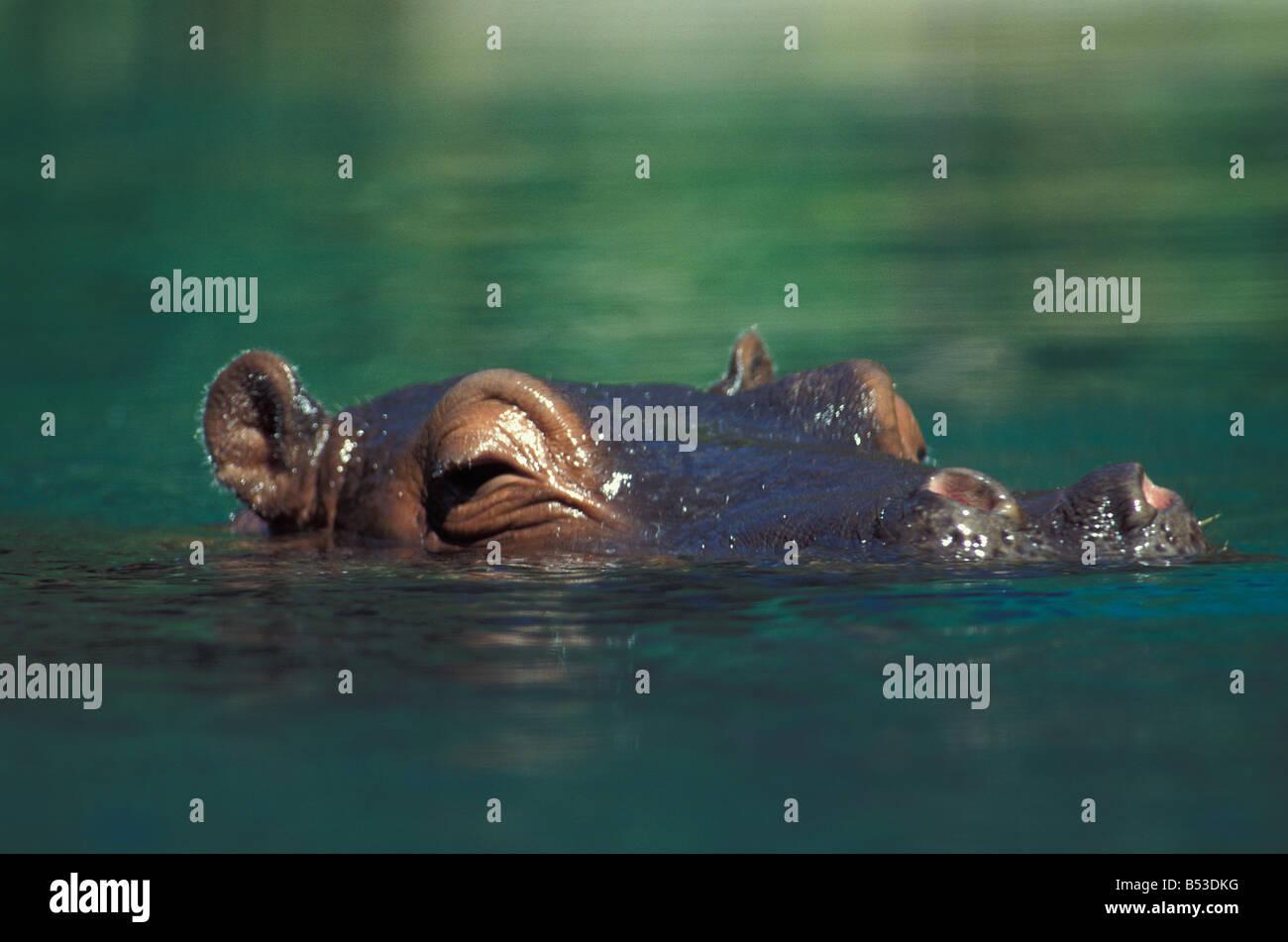 hippopotame hippo Hippopotamus amphibius water lake africa african afrika afrikanisch afrikanische afrikanischer - Stock Image