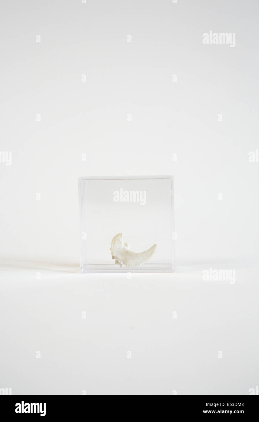 a skeletal tooth or claw - Stock Image