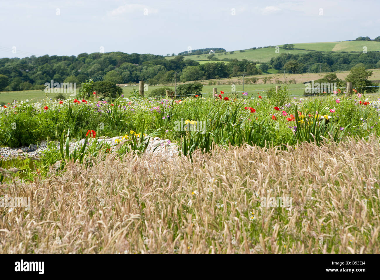uncut lawn with long grass and poppies. - Stock Image