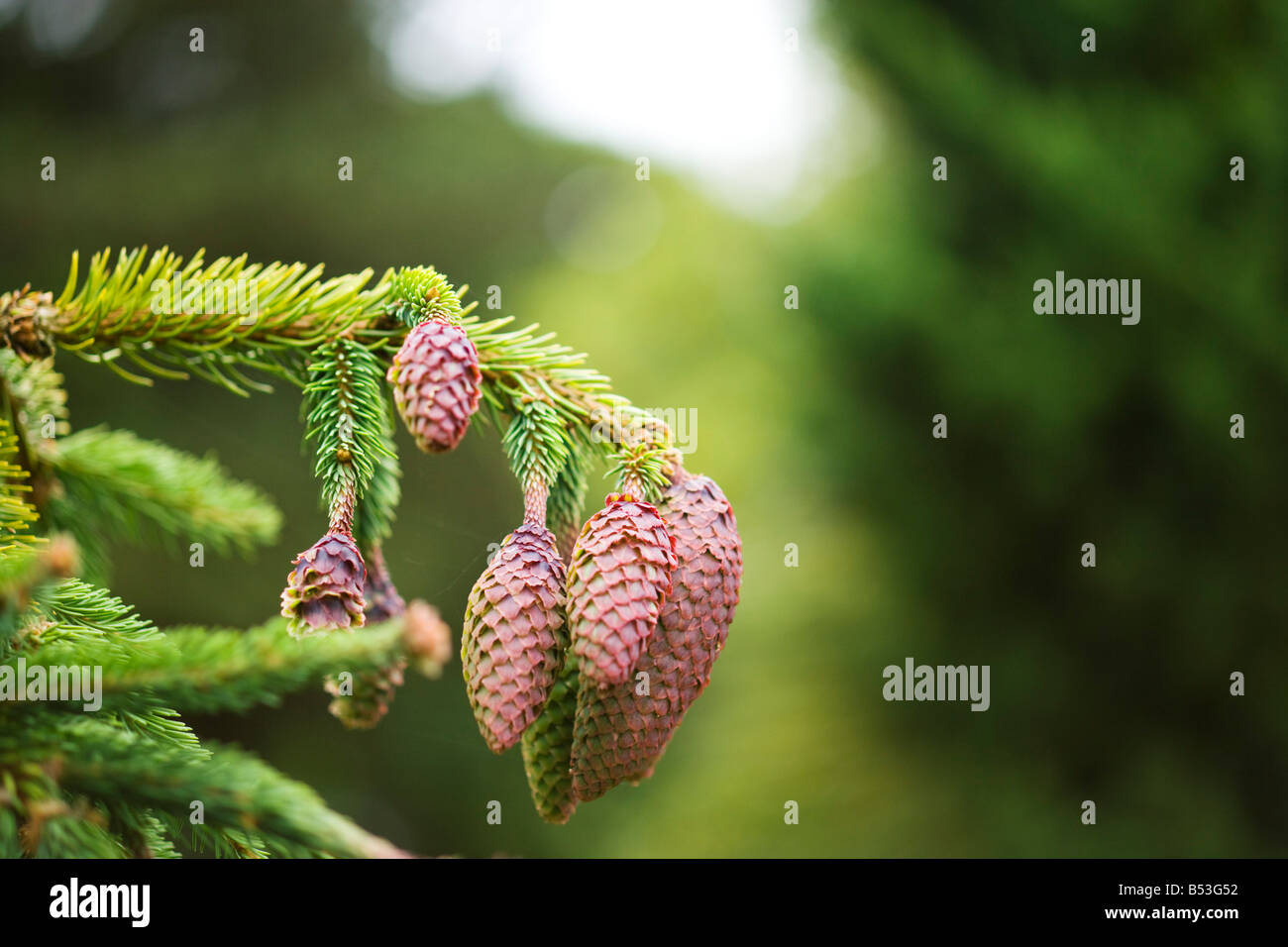 Picea abies Acracona - Stock Image