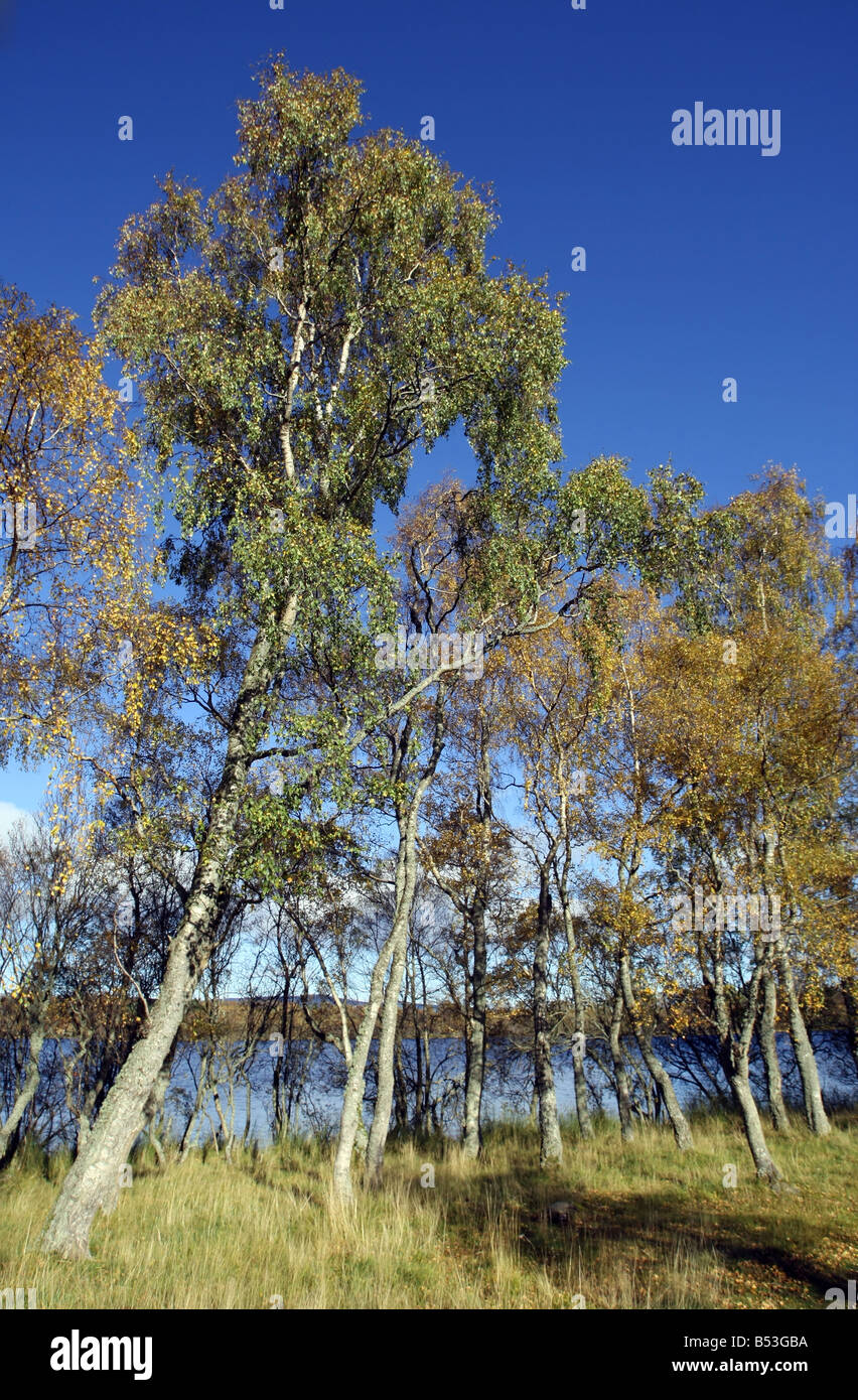 Birch trees in Autumn against a blue sky in Abereenshire, Scotland, UK - Stock Image