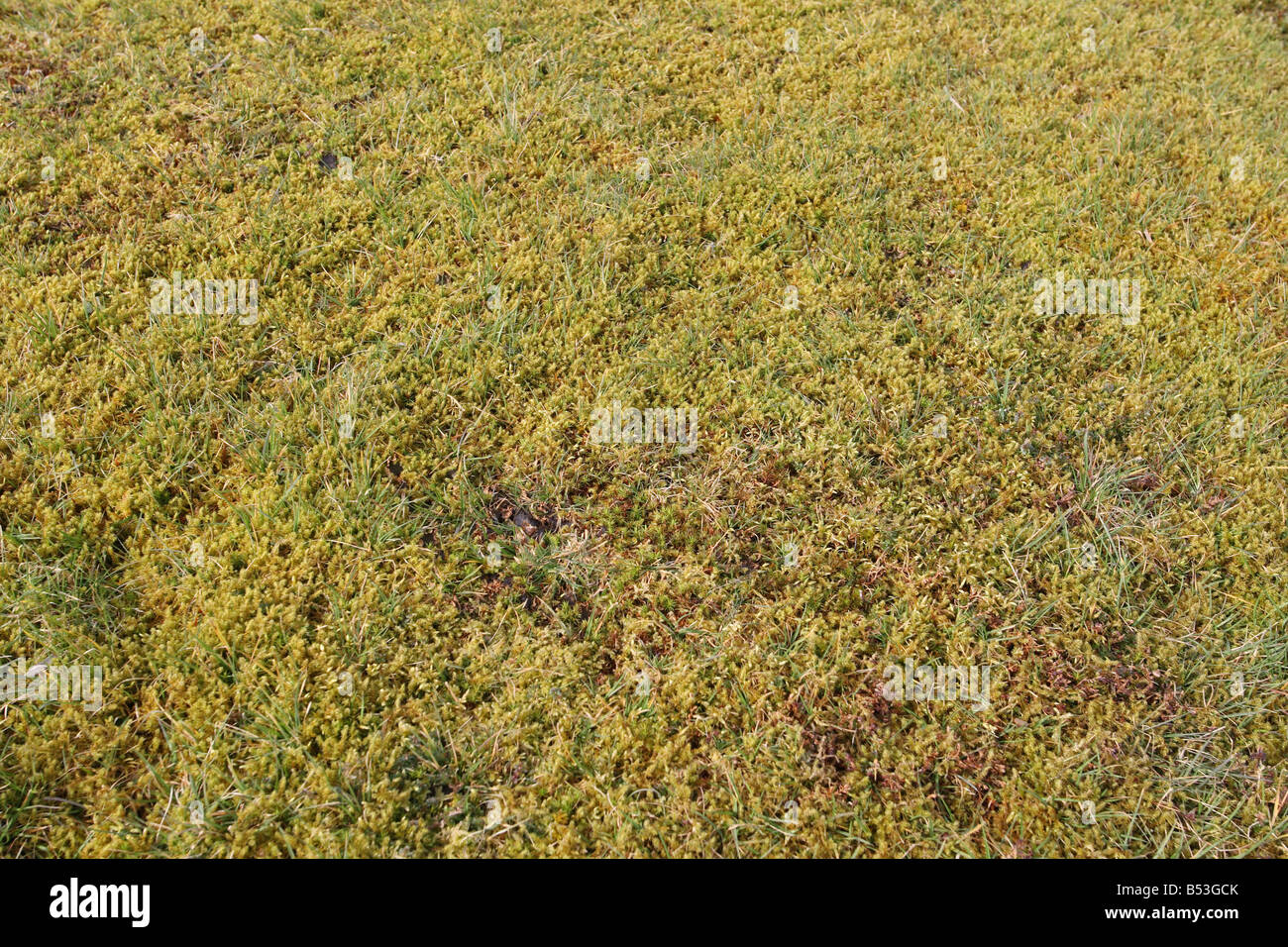 MOSS FORMS A THICK MAT ON LAWN OUT COMPETING THE GRASS - Stock Image
