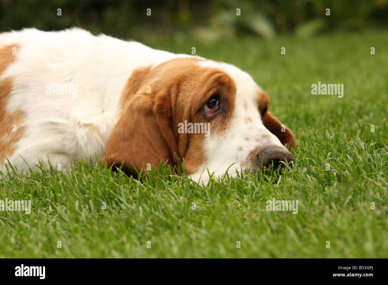 Basset hound relaxing on grass - Stock Image