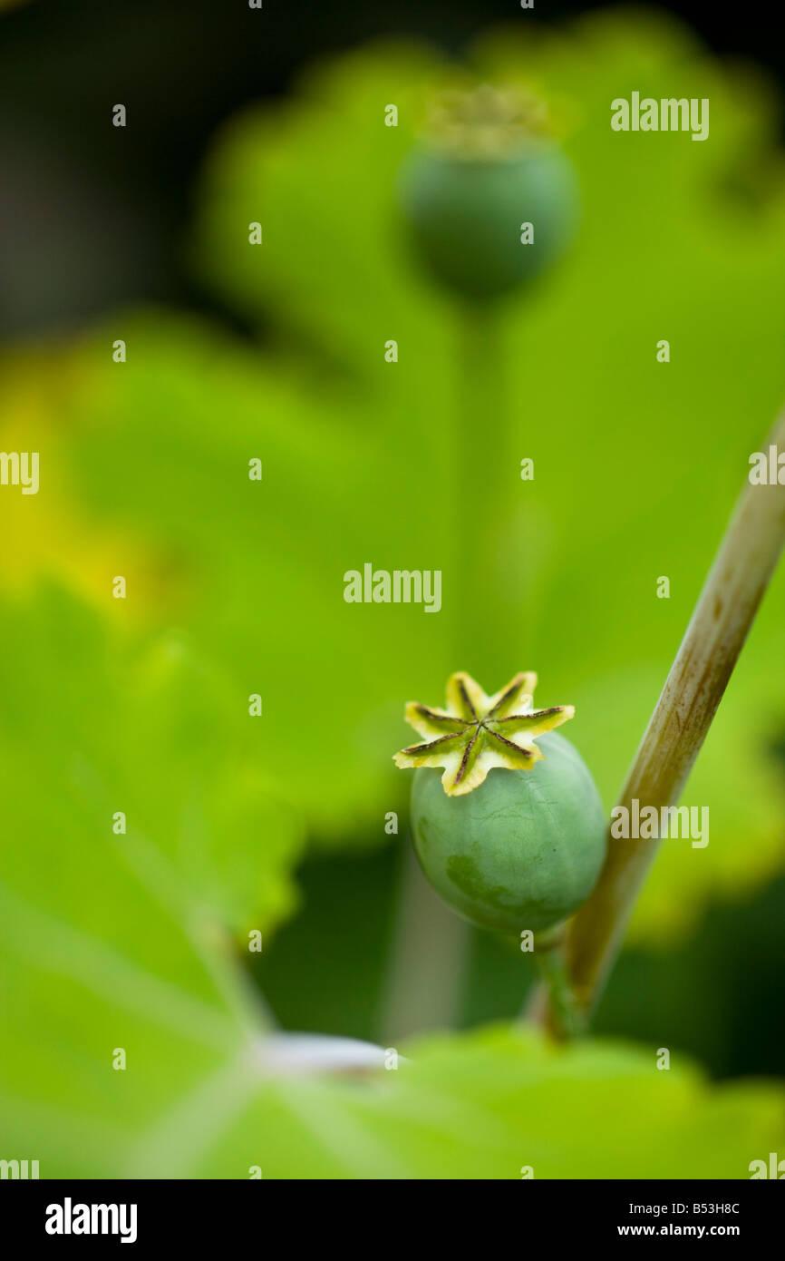 seedhead of poppy - Stock Image