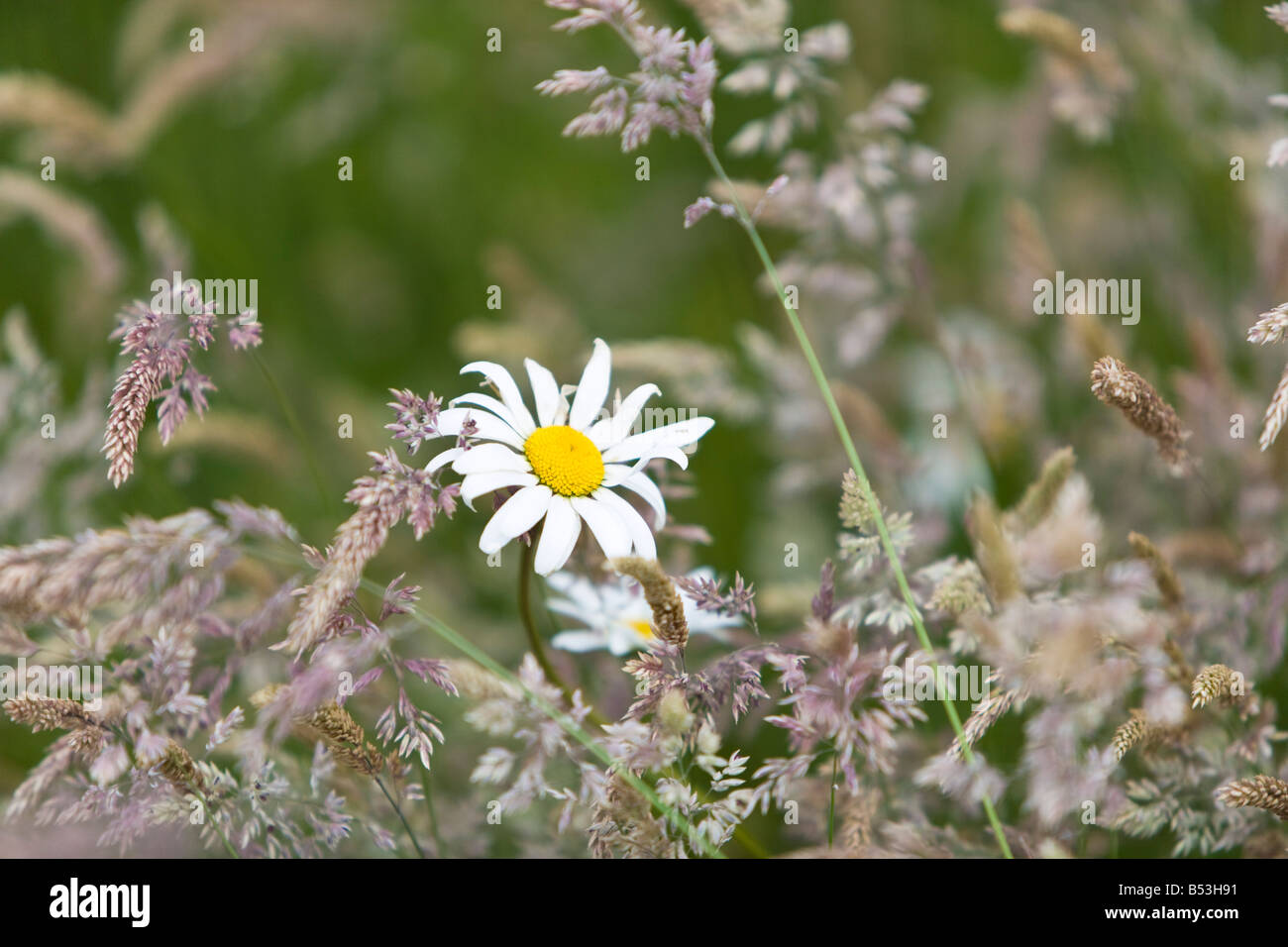 wild lawn with long grass and dog daisy - Stock Image