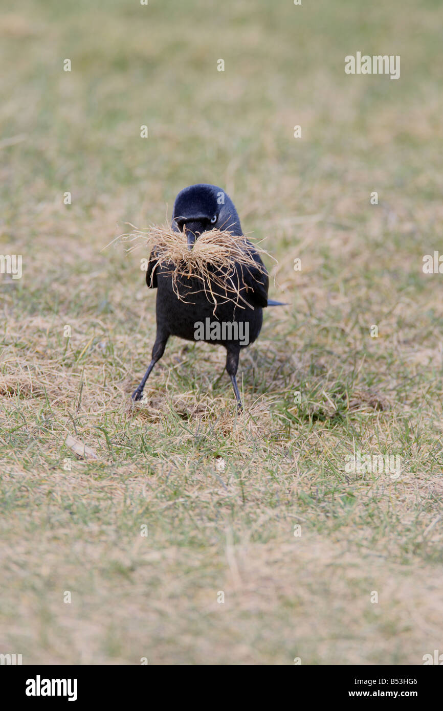 JACKDAW Corvus monedula COLLECTING NEST MATERIAL FRONT VIEW - Stock Image