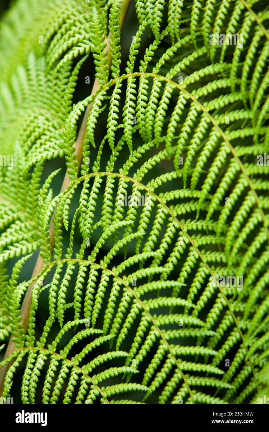 Tree Fern, Dicksonia Antartica - Stock Image