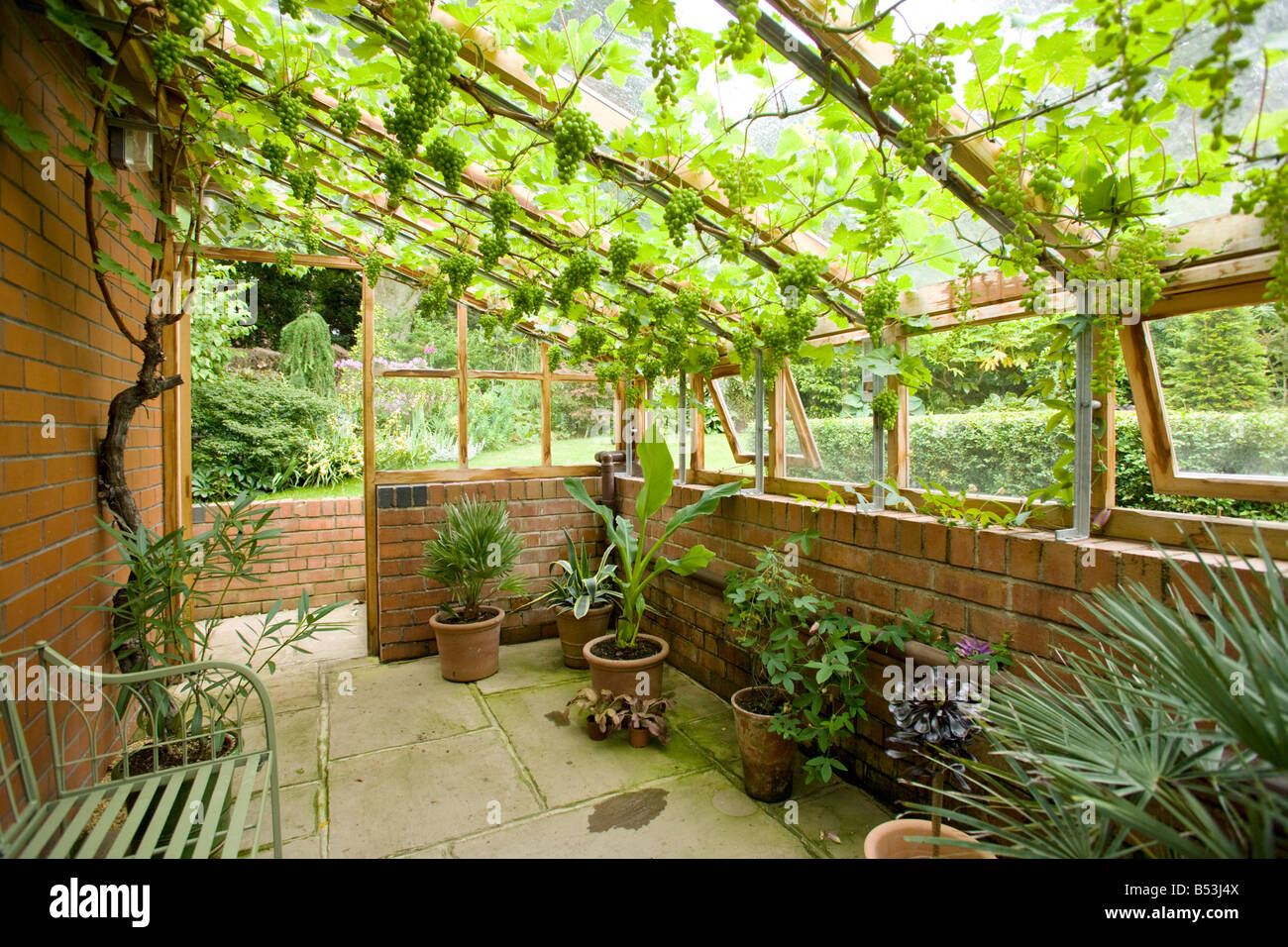 how to grow a grape vine in a greenhouse
