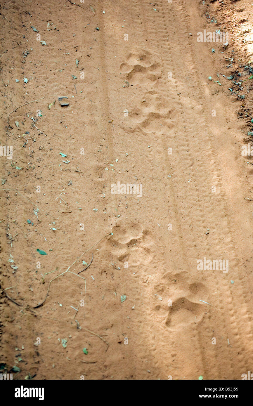 recent tiger tracks on the road, Ranthambore National Park, Rajasthan, India - Stock Image