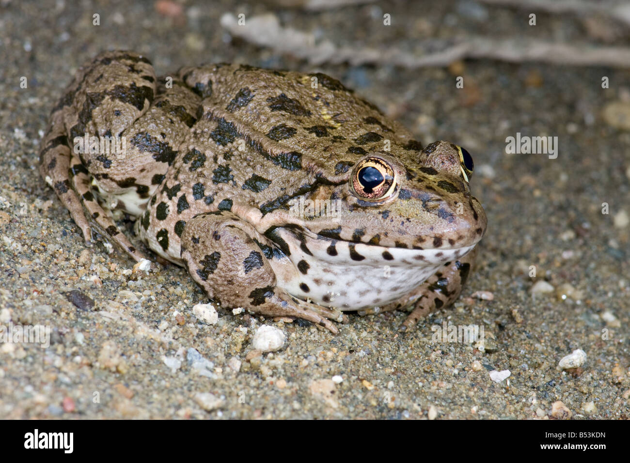 Marsh Frog/Lake Frog/Laughing Frog, Rana ridibunda/Pelophylax ridibundus - Stock Image
