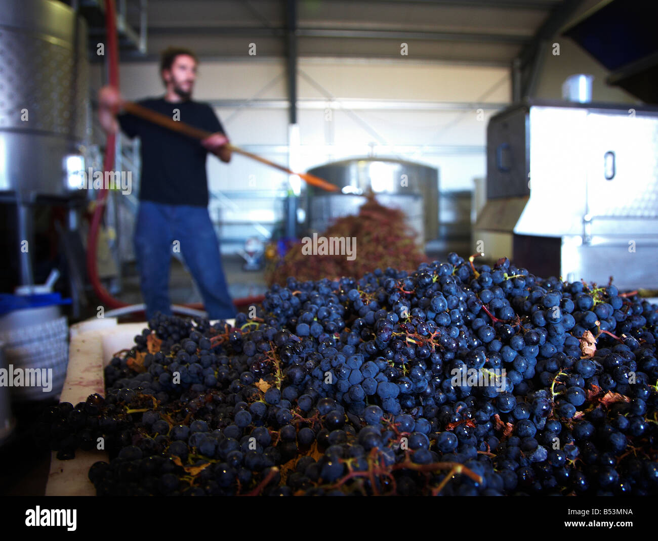 man working in vineyard seperating stems from grapes - Stock Image