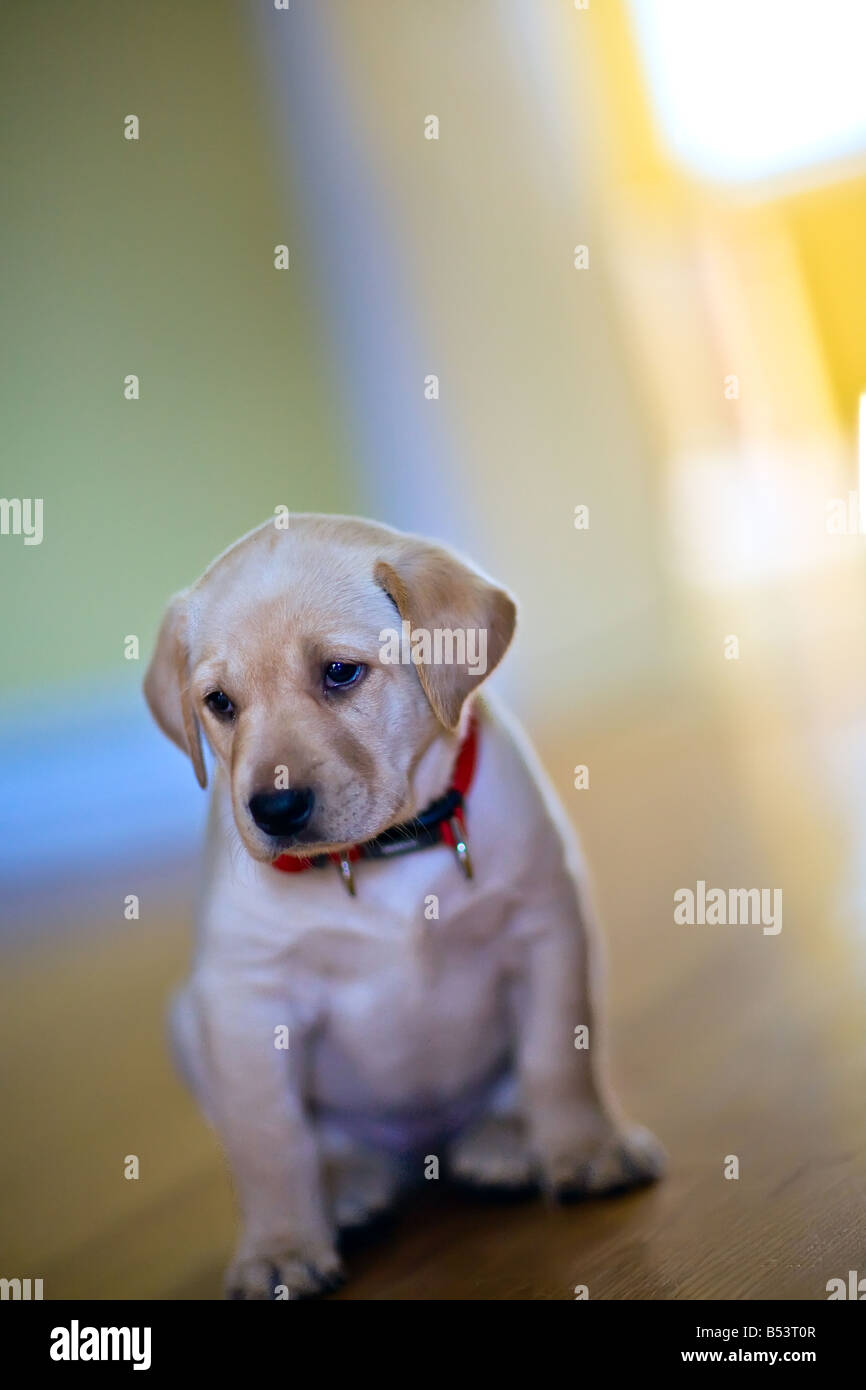 Yellow Labrador Retriever puppy, at 7 weeks old. Stock Photo