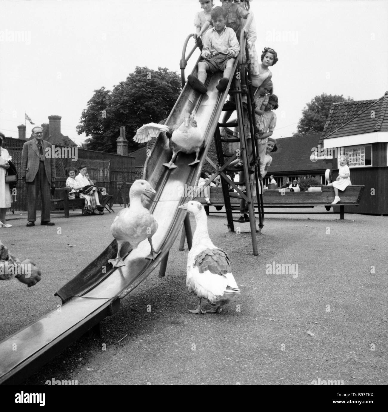 Geese Playing On The Slide At Chessington Zoo July 1953 D3479 Stock