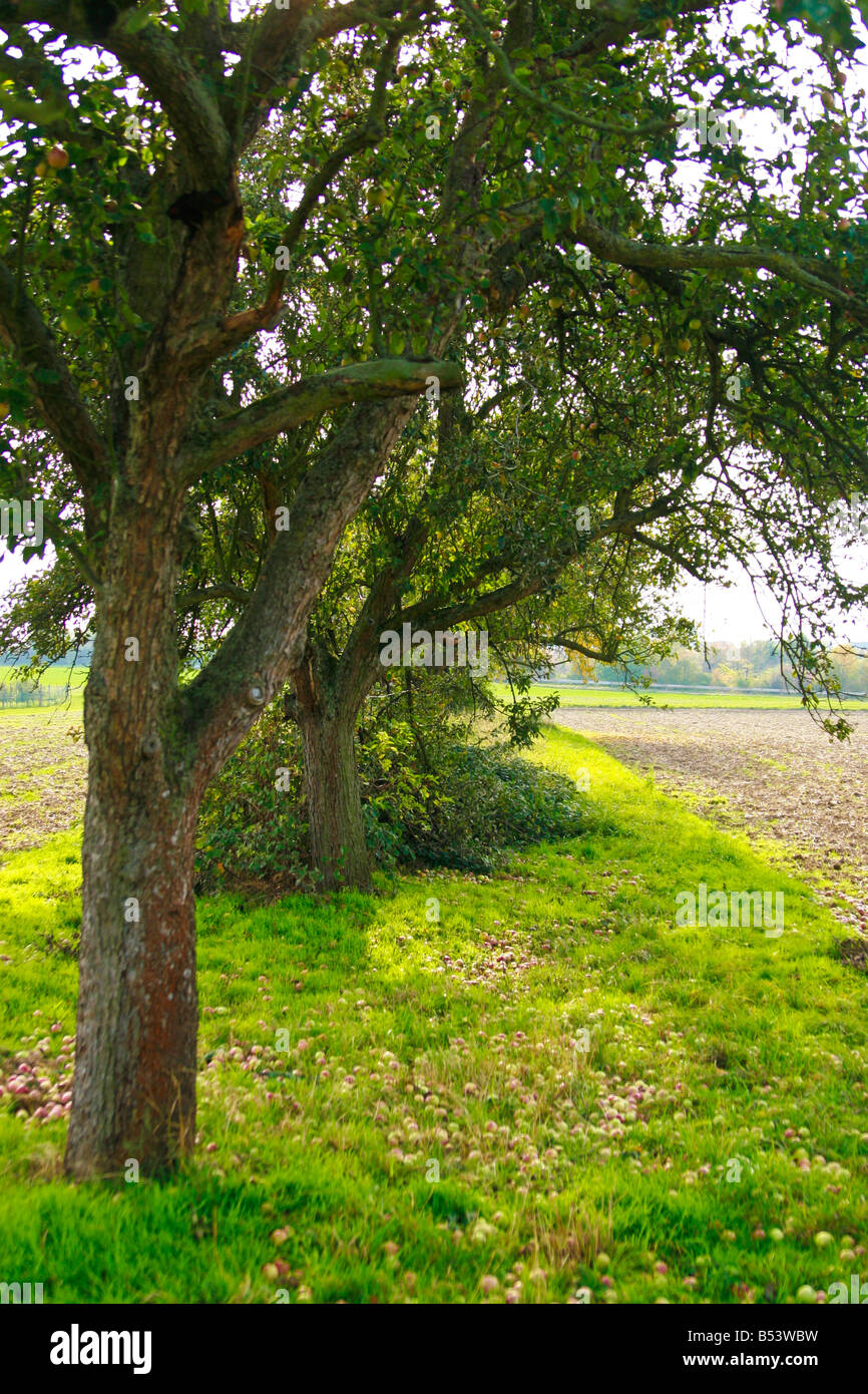 apple tree with windfall - Stock Image