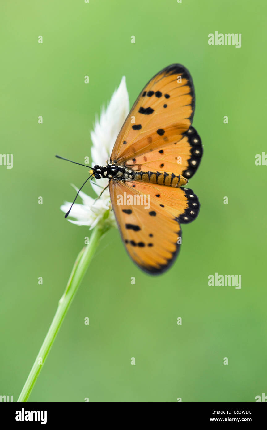 Acraea terpsicore. Tawny Coster butterfly in the indian countryside. Andhra Pradesh, India - Stock Image