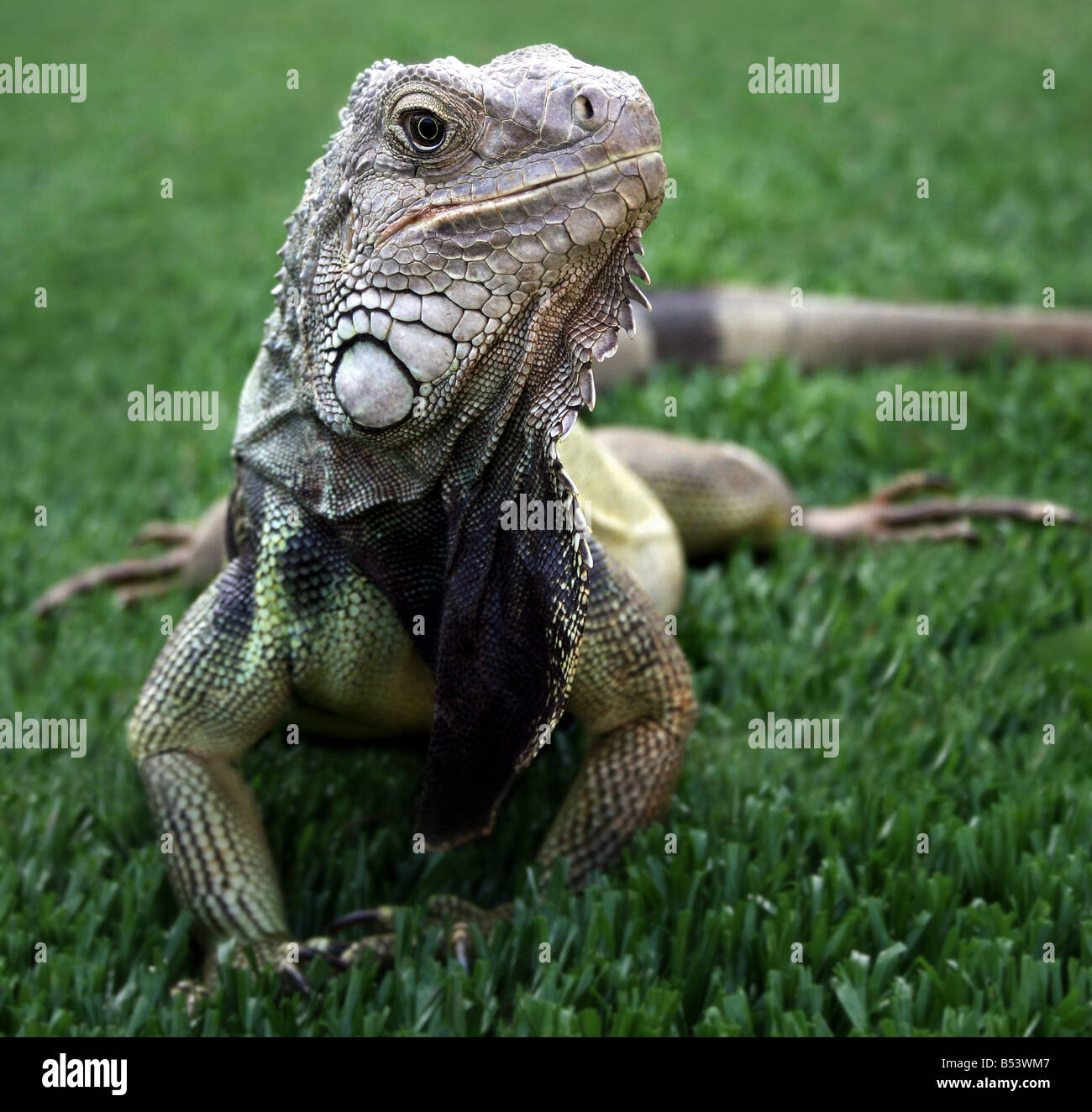 Iguana in the green grass - Stock Image