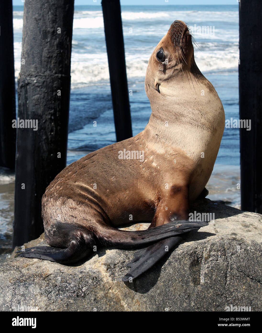 USA Sea lions are any of seven species in six genera of modern pinnipeds - Stock Image