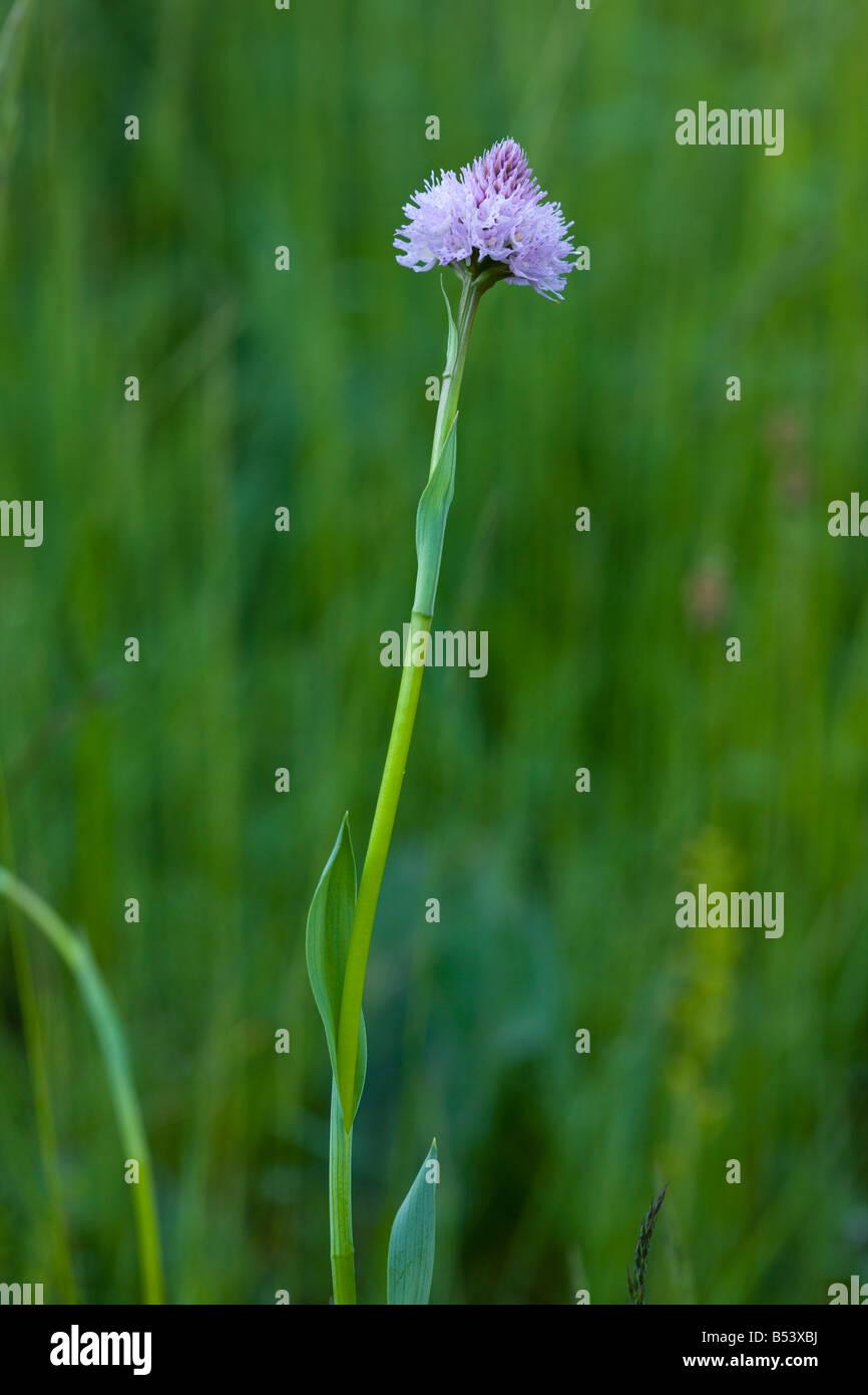 Globe flowered orchid (Traunsteinera globosa) close-up, in the Piatra Craiulu Mountains, Piatra Craiulu National Stock Photo