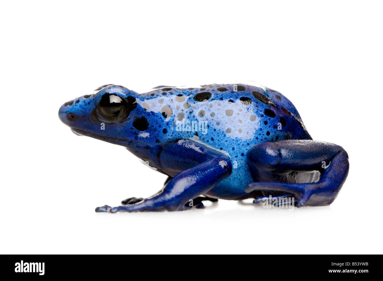 Dendrobates azureus in front of a white background - Stock Image