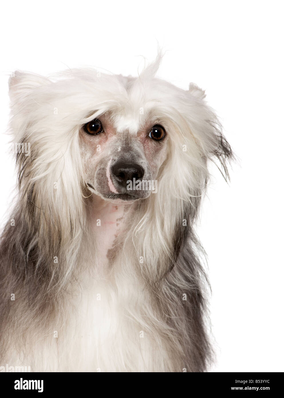 chinese crested dog in front of a white background - Stock Image