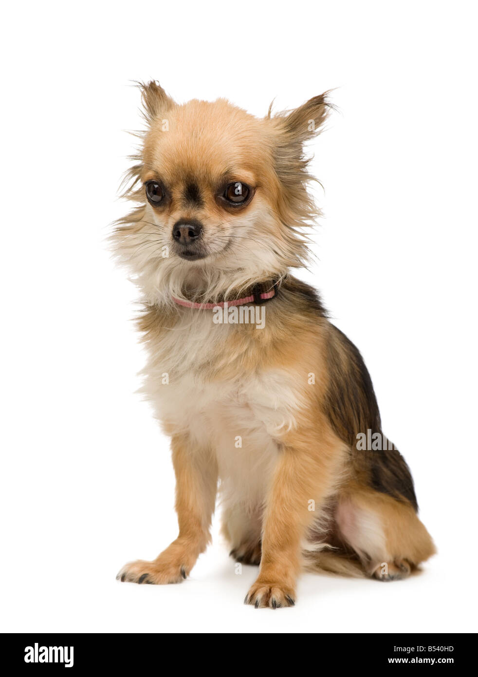 long haired chihuahua 2 years in front of a white background - Stock Image