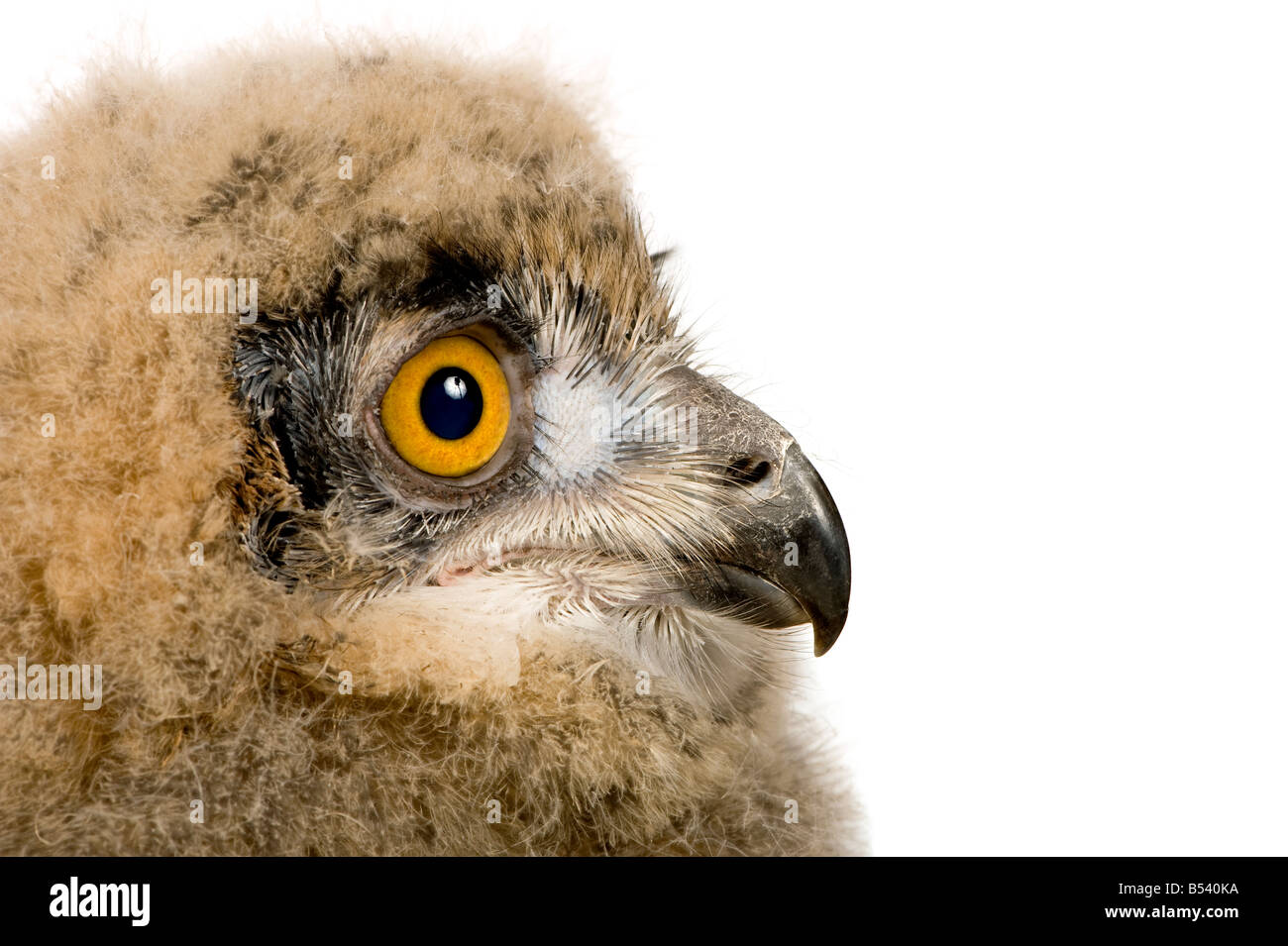 Eurasian Eagle Owl Bubo bubo 6 weeks in front of a white background - Stock Image