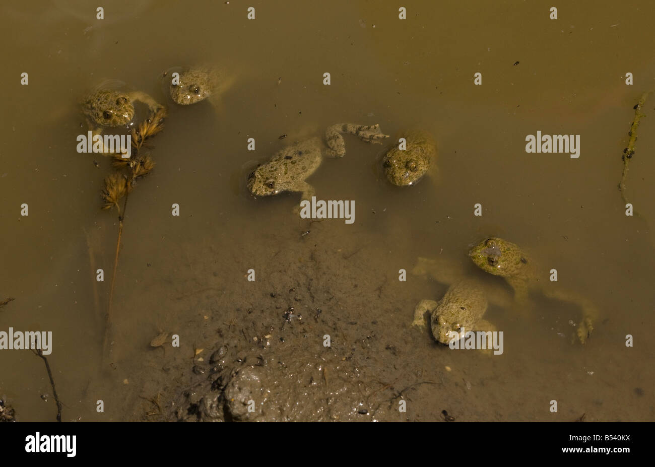 Yellow bellied toads Bombina variegata group of adults in shallow muddy breeding pond Romania - Stock Image
