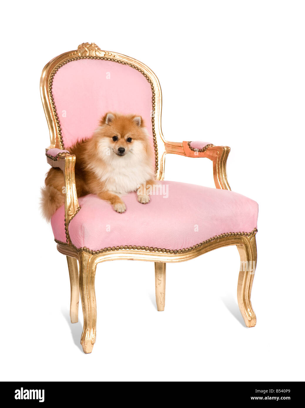 Pomeranian 10 months in front of white background - Stock Image
