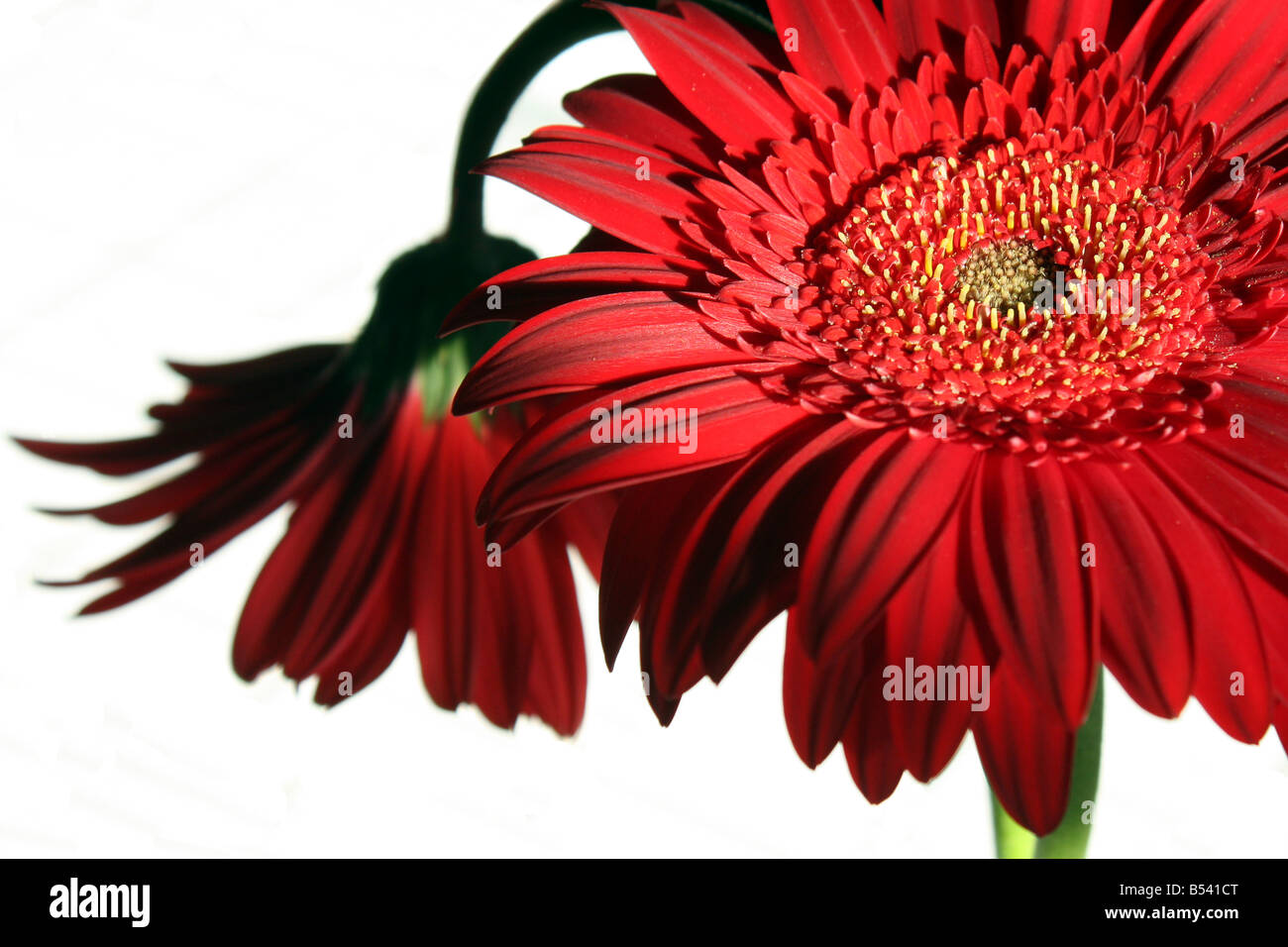 A still life with two red gerbera flowers, in natural lighting. - Stock Image