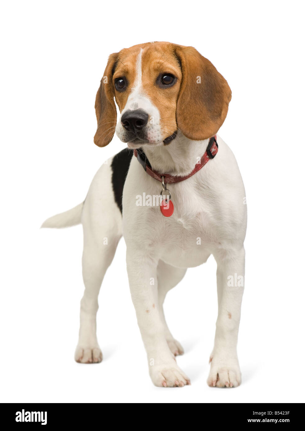 Beagle 8 months in front of white background - Stock Image