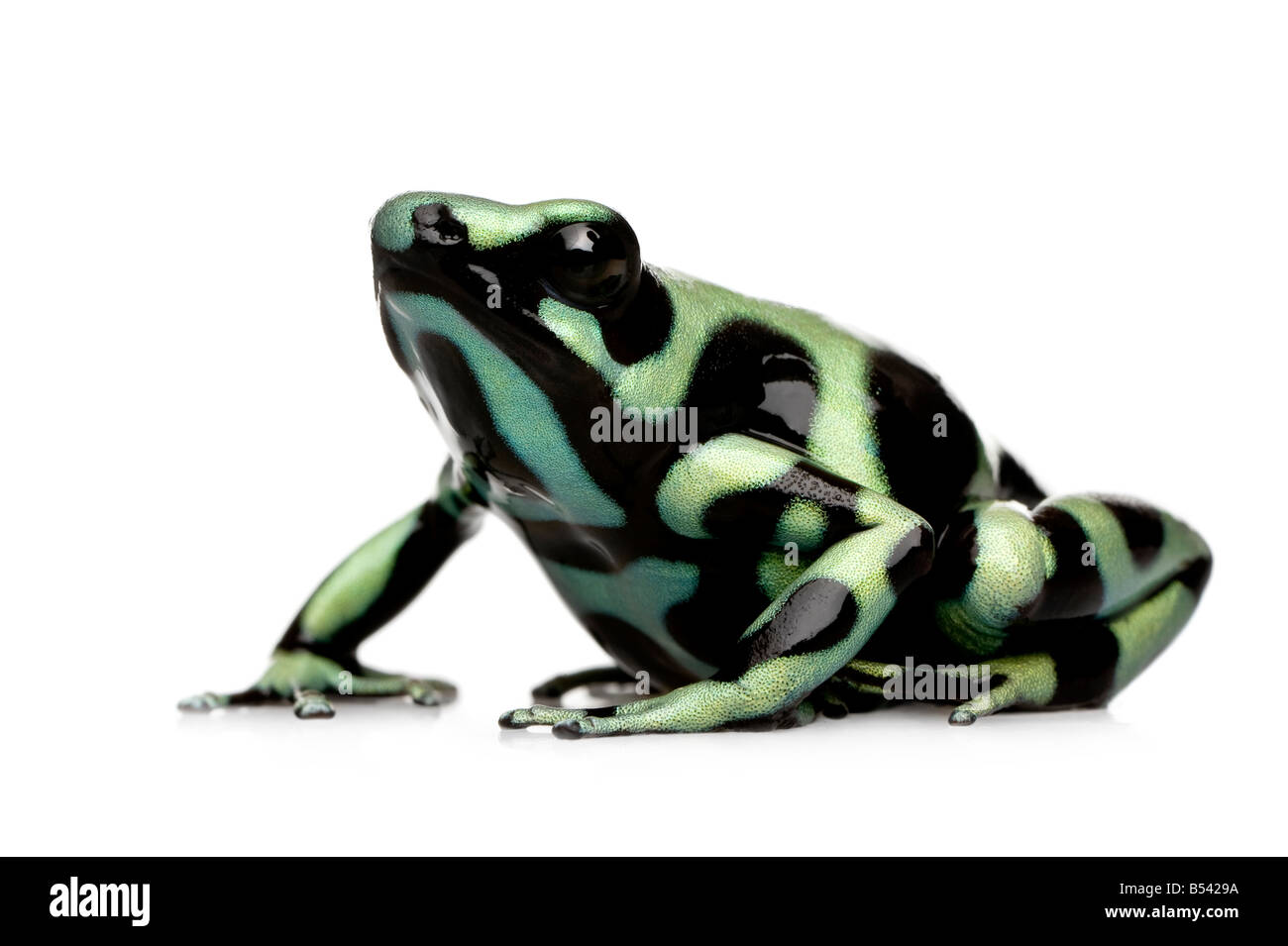 green and Black Poison Dart Frog Dendrobates auratus in front of a white background - Stock Image