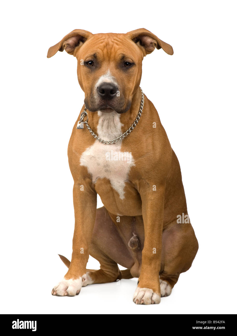 American Staffordshire terrier in front of a white background - Stock Image