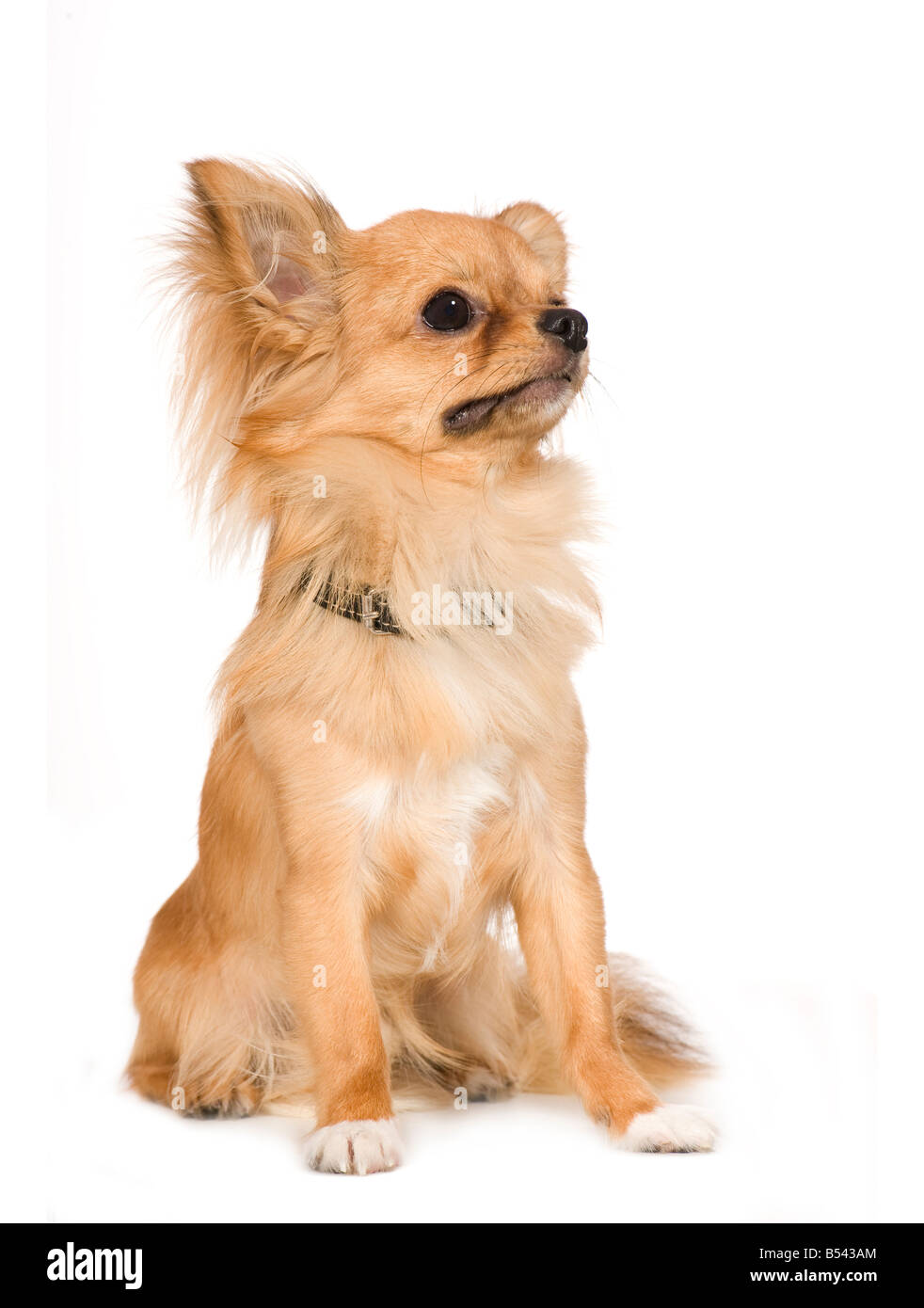 chihuahua 1 year in front of a white background - Stock Image
