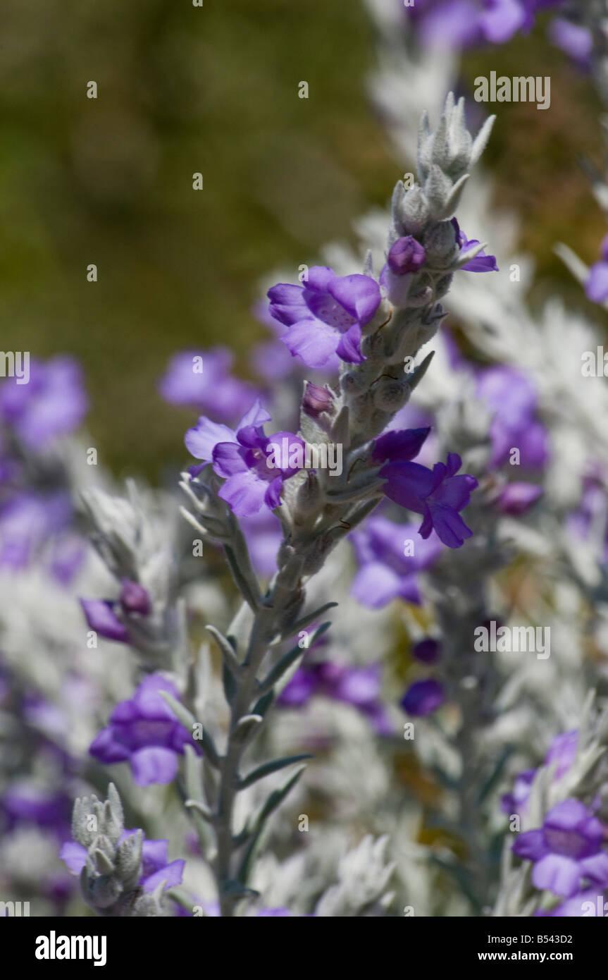 West Australian wildflower Silky Eremophila Eremophila Nivea Stock Photo