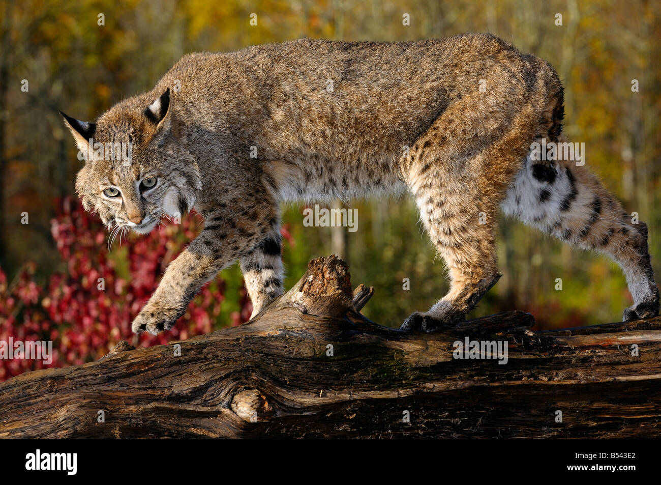 Bobcat walking along a fallen tree trunk with red maple leaves in Autumn - Stock Image