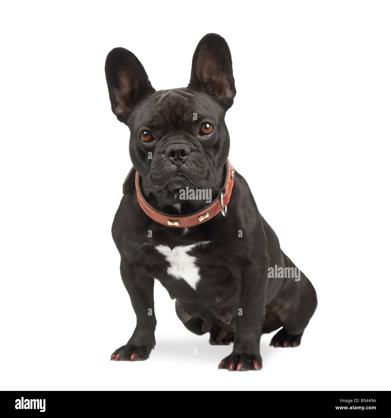 french Bulldog in front of a white background - Stock Image