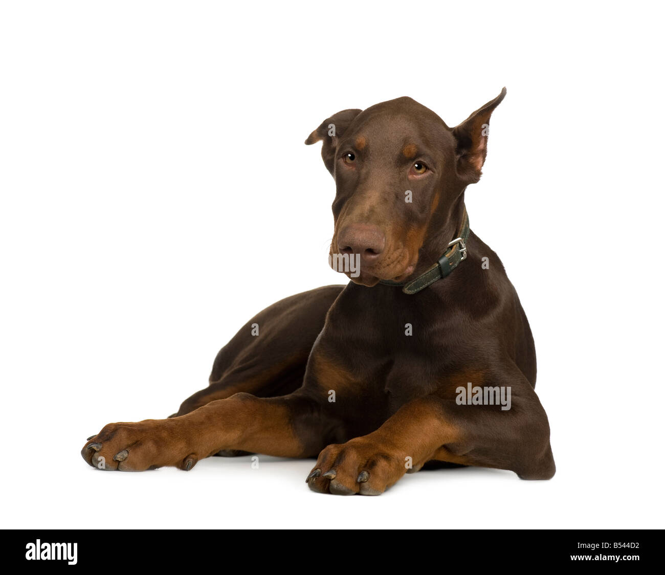 Doberman Pinscher 4 months in front of a white background - Stock Image