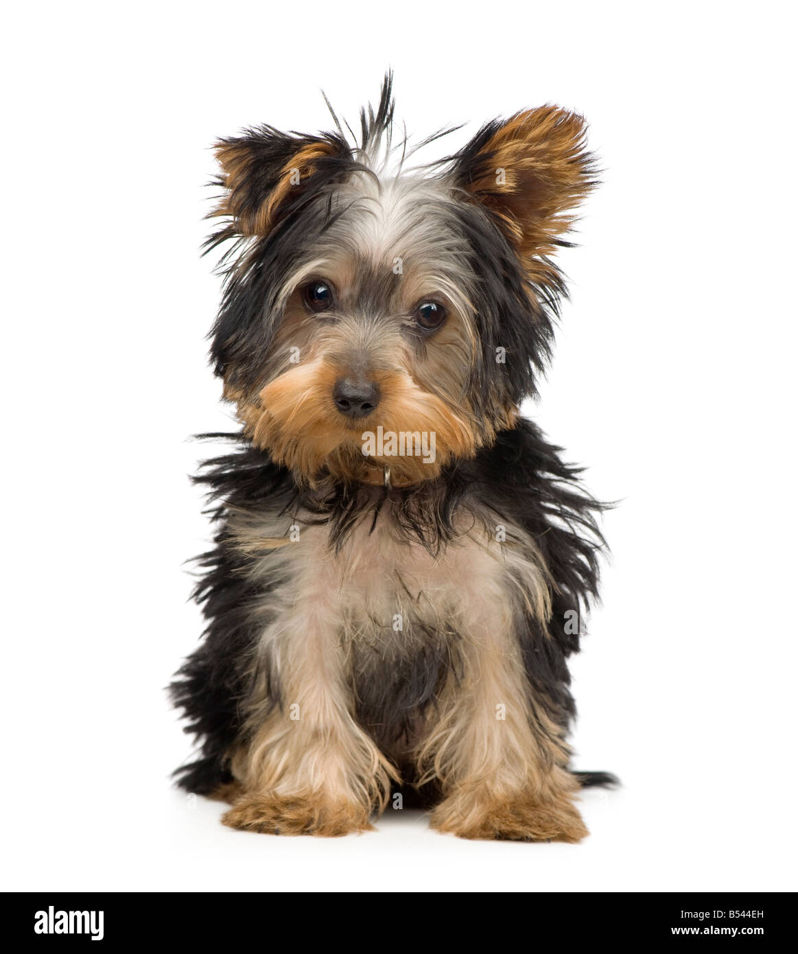 Yorkshire Terrier 3 months in front of a white background - Stock Image