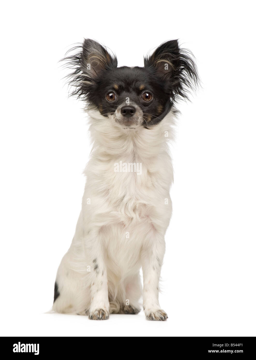 long haired chihuahua 9 months in front of a white background - Stock Image