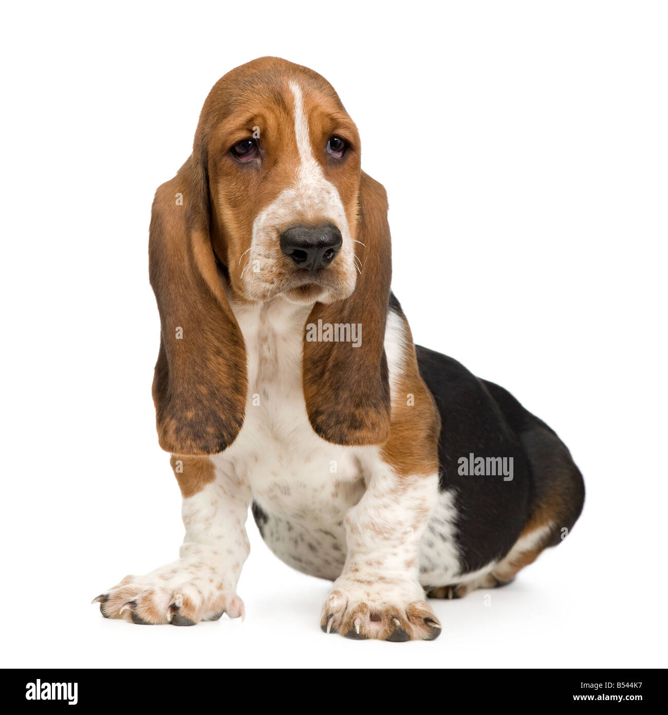 Basset Hound 3 months in front of a white background - Stock Image