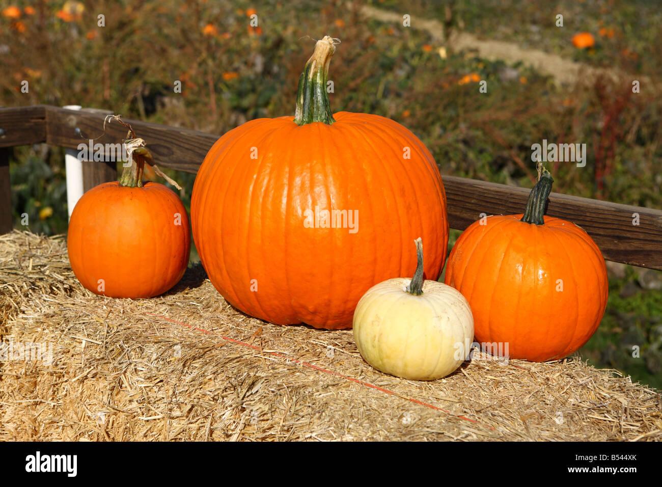 Pumpkins on bale of hay Oregon USA - Stock Image