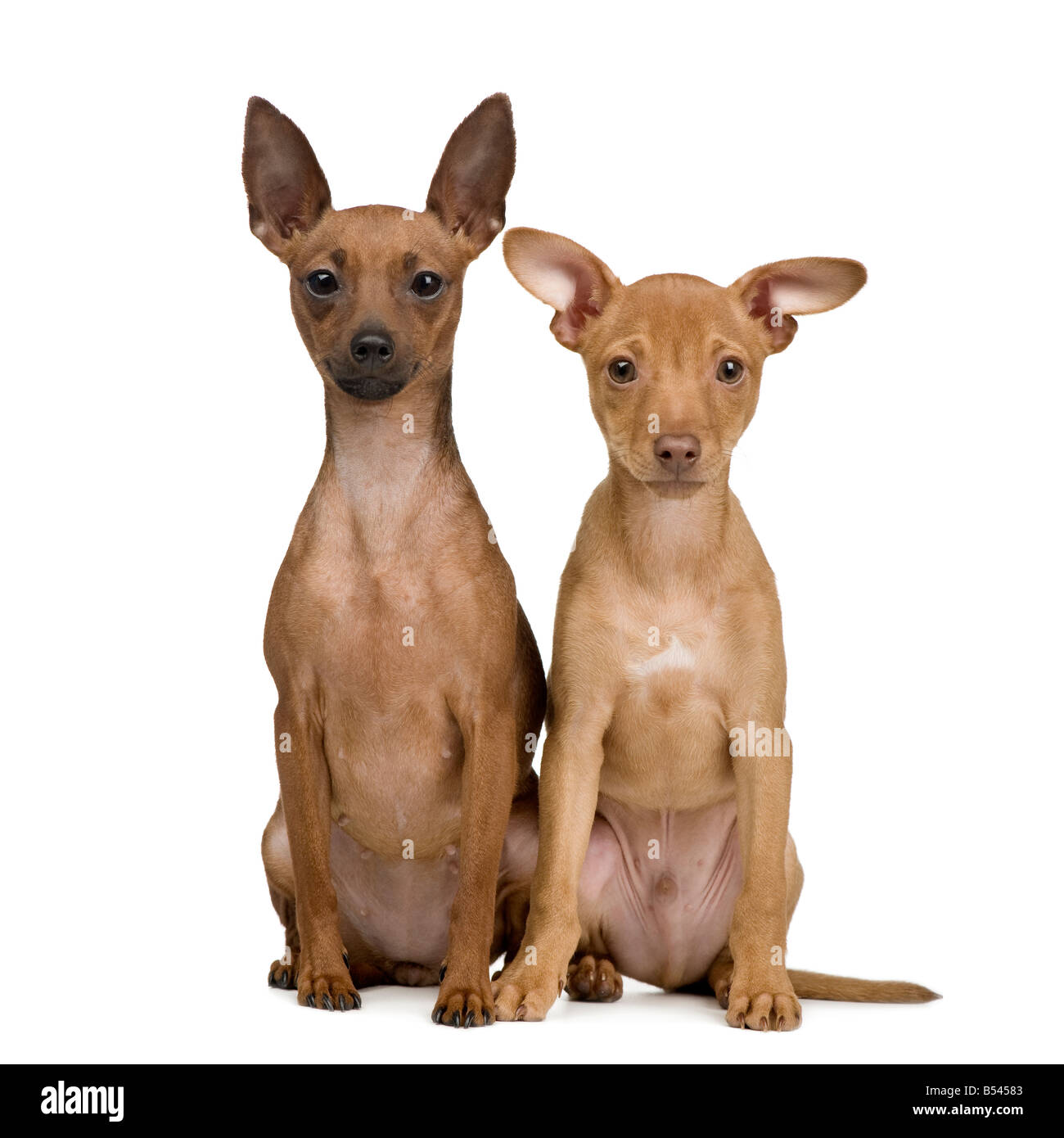 couple of miniature pinscher in front of a white background stock