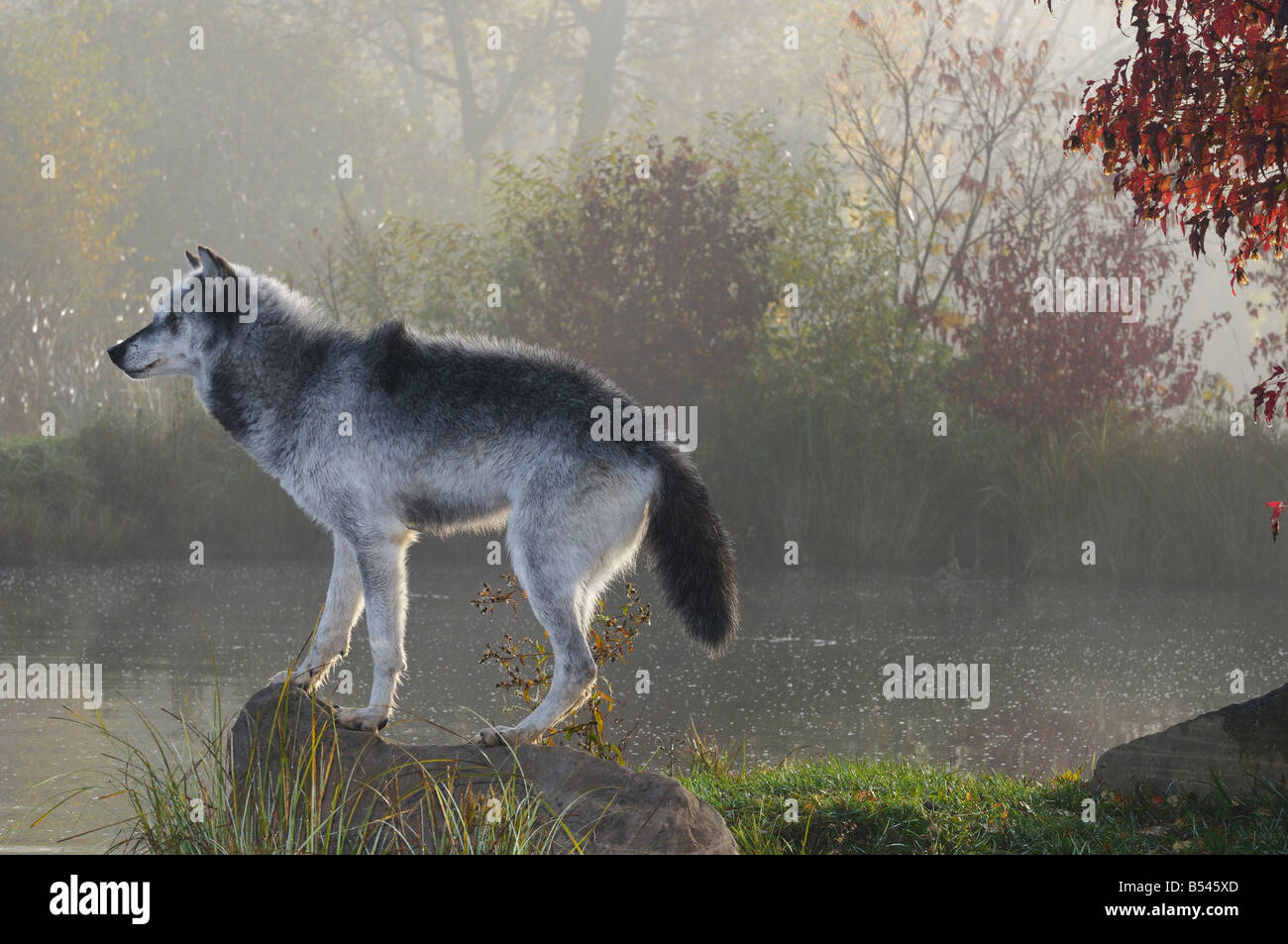Backlit Gray Wolf standing on rock over water in the mist of early morning with Fall colors Stock Photo