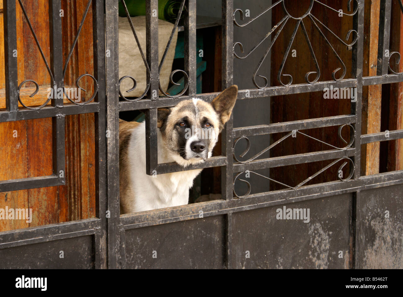 Dog looking out through a barred gate of a house in the village of Ataco in western El Salvador, Central America - Stock Image